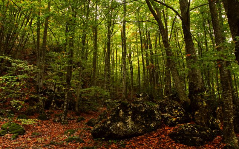 Δάσος από οξιές στο μονοπάτι από τα Πριόνια προς το καταφύγιο Σπήλιος Αγαπητός